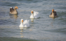 Geese and ducks Stock Photography