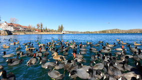 Geese and ducks at Lake Arrowhead. California Royalty Free Stock Image
