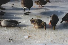 Geese and ducks in a park during the winter season, these animal stock image
