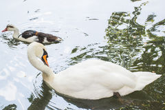 White swan and geese. Ducks, geese, swans, all of these are beautiful birds that we see in nature and zoos royalty free stock photos