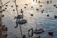Geese and ducks swimming sunset water stock photography