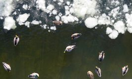 Geese and Ducks on Winter River. Canadian Geese and Mallard Ducks on Frozen Ice of Delaware River, Aerial View Royalty Free Stock Photo