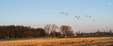Geese at dusk flying low over a rural area Royalty Free Stock Photos