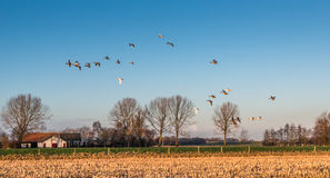 Geese at dusk flying low over a rural area Stock Photography