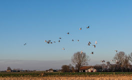 Geese at dusk flying low over a rural area Royalty Free Stock Images