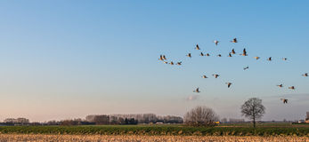 Geese at dusk flying low over a rural area Stock Photos