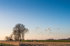 Geese at dusk flying low over a rural area Stock Photo