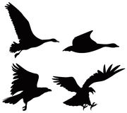Geese and eagle. Vector art on Geese and eagle silhouettes on white Royalty Free Stock Photography