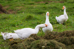 Geese eat grass Royalty Free Stock Images