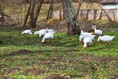 Geese eating grass Royalty Free Stock Photos