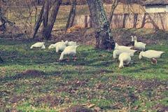 Geese eating grass Stock Photos