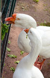 Geese eating grass. Geese grass fed through the bars Stock Image
