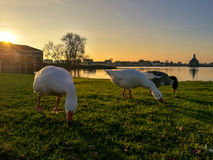 Geese eating grass stock photography