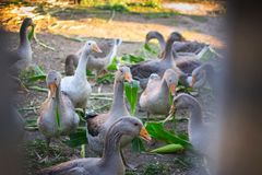 Geese eats Royalty Free Stock Photos