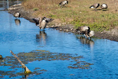 Geese on the edge of blue lake Royalty Free Stock Photography