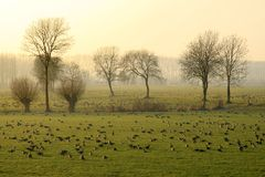 Geese in the evening light Stock Photography