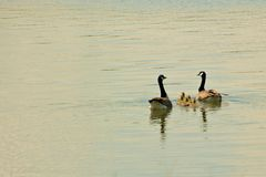 Geese Family. Family of Canada Geese. 2 parents with 5 goslings Stock Photo