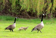 Geese' Family Stock Photography