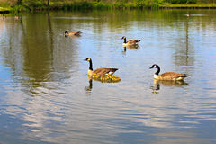 Geese family Royalty Free Stock Image