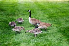 Geese family eating together Royalty Free Stock Image