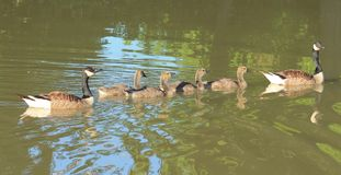 Geese. Family of geese enjoying the day Stock Images