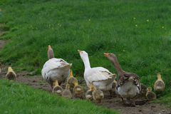 Geese family escape Royalty Free Stock Photo