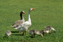 Geese family on field. Royalty Free Stock Image