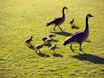 Geese family with goslings. Two geese and goslings together on green grass Stock Photos