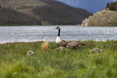 Geese Family grasing near Boulder Royalty Free Stock Photography