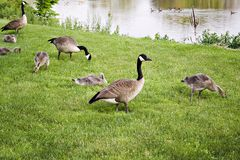 Geese Family Grazing Stock Photography