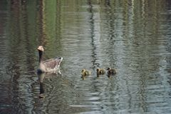 Geese family at a lake royalty free stock image