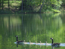 Geese Family Royalty Free Stock Photo