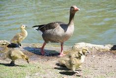 Geese family Royalty Free Stock Photos