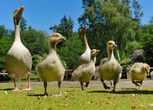 Geese family in spring Stock Images