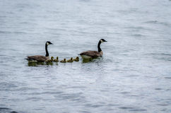 Geese Family Swim. Geese with their goslings swimming at Mosquito Creek Lake, near Cortland, OH, USA Royalty Free Stock Photo