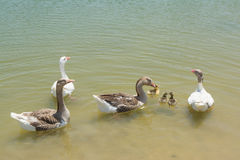 Geese family swimming in the lake Stock Images