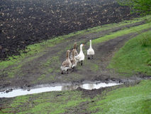 Geese. A family of geese walking along the road along the field in the rain Royalty Free Stock Photos