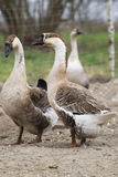 Geese on the farm Royalty Free Stock Photography