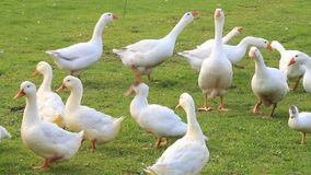 Geese on a farm, feeding with bread stock footage