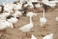 Geese at a farm Royalty Free Stock Photo