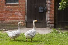 Geese on a farm Royalty Free Stock Photography