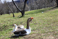 Geese on farm royalty free stock photography