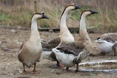 Geese on the farm Stock Photo