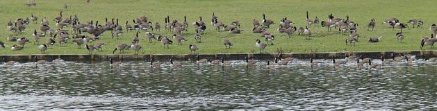 Geese Feeding. Royalty Free Stock Photo