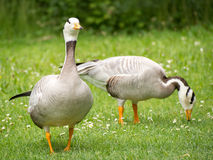 Geese feeding in a park Royalty Free Stock Images