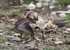 Geese feeding on the waste pile Royalty Free Stock Photos