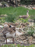 Geese feeding on the waste pile. Geese living and lives in a garbage dump Stock Images