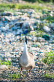 Geese feeding on the waste pile. Geese living and lives in a garbage dump Royalty Free Stock Images