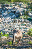 Geese feeding on the waste pile. Geese living and lives in a garbage dump Stock Photos