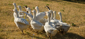 Geese on a field Stock Photo